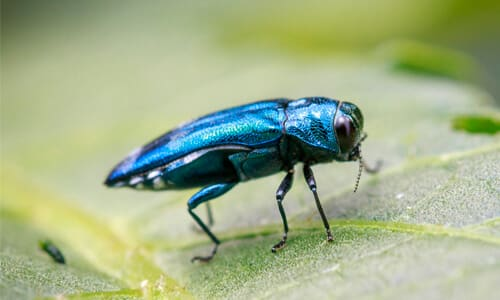 How to Get Rid of Emerald Ash Borer