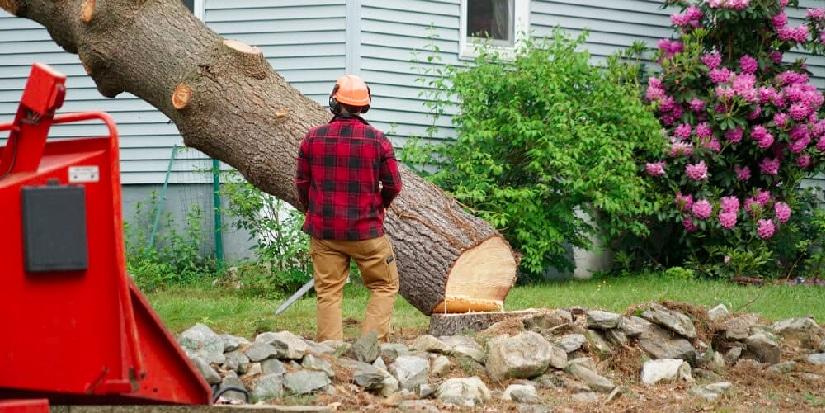 Arborist cutting down a tree.