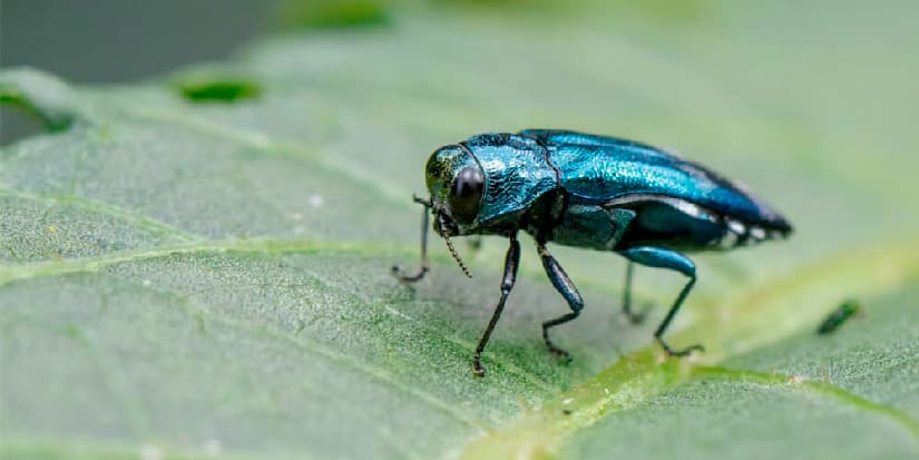 An Emerald Ash Borer on a leaf.