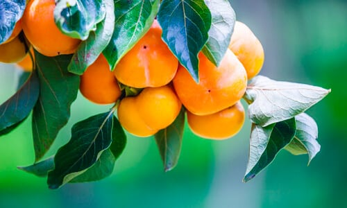 How to Grow a Persimmon Tree from a Seed guide