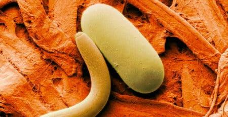 Nematode attacking grub and larvae.