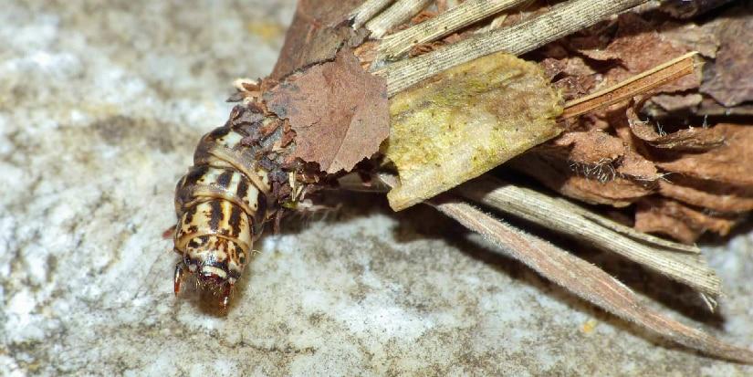 A Bagworm Moth Caterpillar on a leaf.