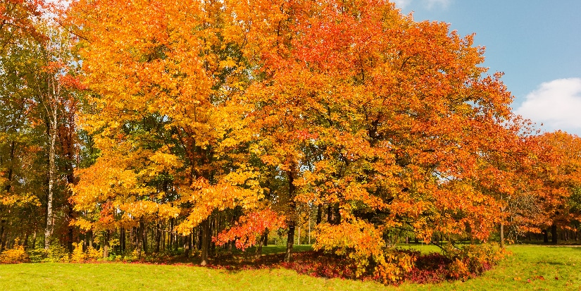 A forest of Northern Red Oaks.