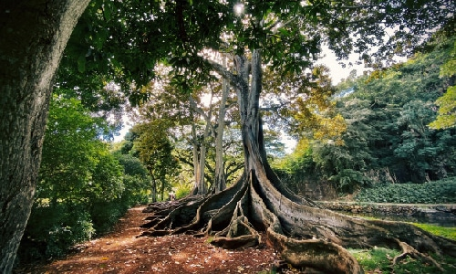 Large tree with exposed root system.